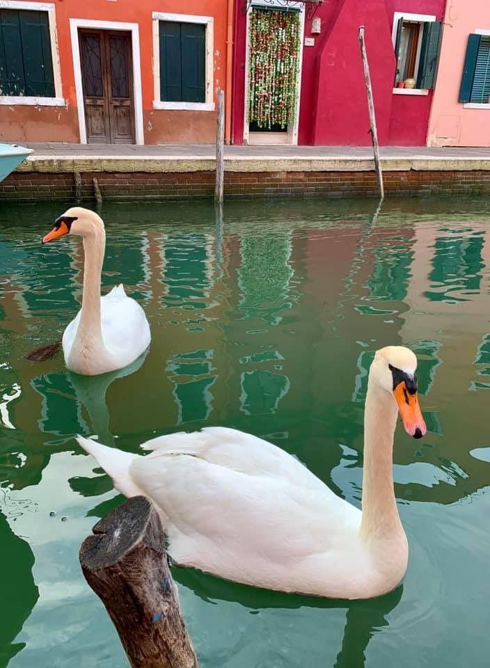 венеция лебеди