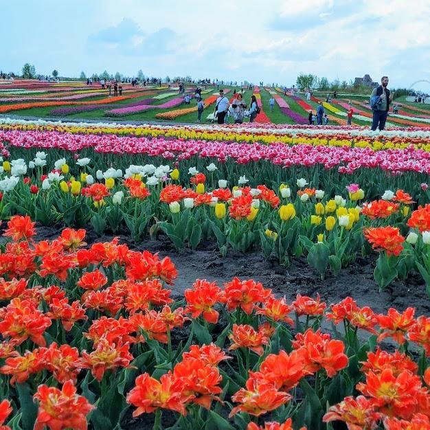 парк тюльпанов под Киевом
