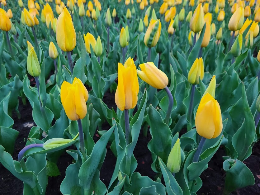 тюльпаны в парке Добропарк