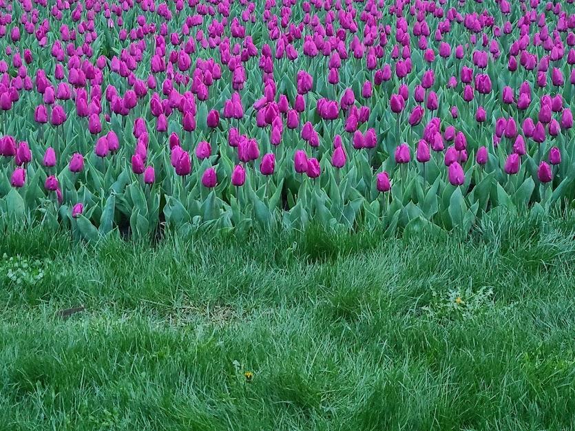 тюльпаны Добропарк